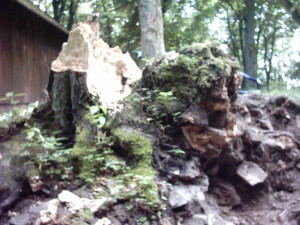 Zerstörung der Burgmauer durch Bäume